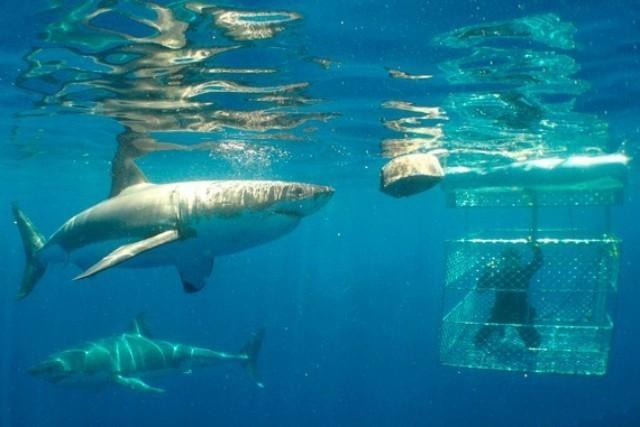 南澳大利亚州的水域是世界上与深海猛兽—大白鲨—近距离(安全地)